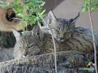 Mueren crías de Lince Ibérico en cautividad