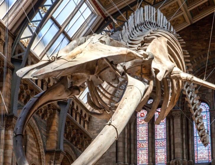 """""""Hope"""", la colosal ballena azul que dará la bienvenida en el Museo de Historia Natural de Londres"""