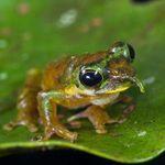 Esta nueva especie de rana tiene una nariz puntiaguda como Pinocho