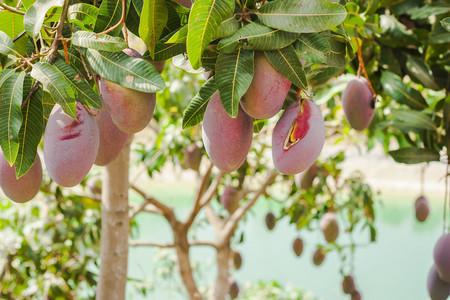 Mangos en el árbol