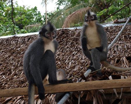 Monos en Bukit Lawang