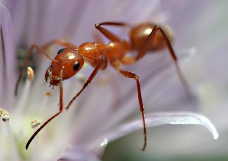 Se descubre (mejor) cómo se orientan las hormigas: gracias al sol