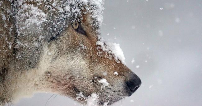 El lobo está regresando a la mayoría de países de Europa. Pero no son buenas noticias para todos