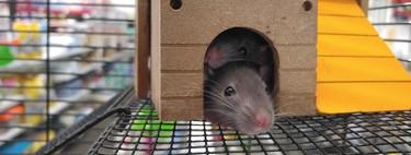 Células cerebrales de ratas, estudiadas como inspiración para mejorar las habilidades de navegación en vehículos autónomos