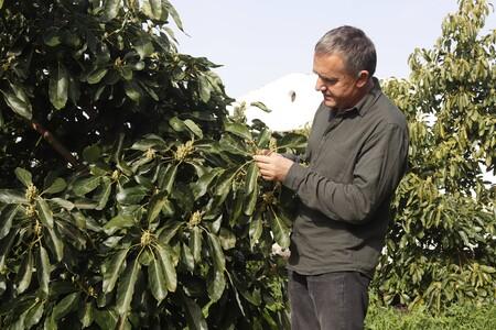El profesor de investigación del CSIC y jefe del Departamento de Fruticultura Subtropical y Mediterránea del IHSM, Iñaki Hormaza, estudiando las flores de un árbol de aguacate