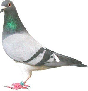 Singularidades extraordinarias de animales ordinarios (XXXVIII): la paloma