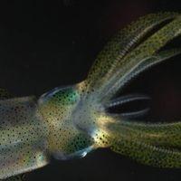 Hay otro animal cuyo cerebro presenta una complejidad similar al cerebro de un perro: el calamar