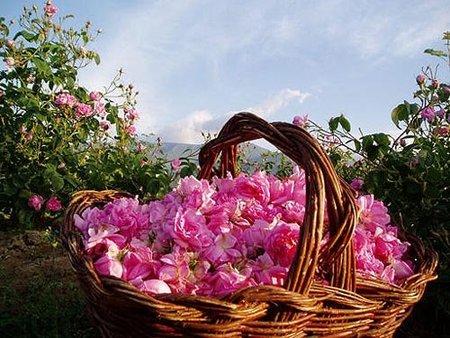 La rosa damascena: su historia
