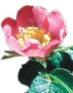 Aceite de rosa mosqueta para prevenir las estrías del embarazo y curar cicatrices del postparto