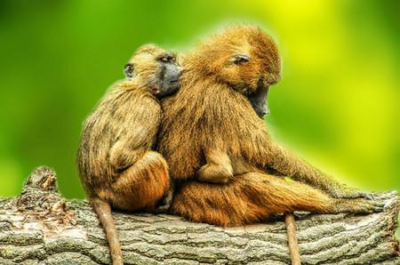 Los Babuinos Emiten Cinco Sonidos Similares A Las Vocales Humanas Image 380