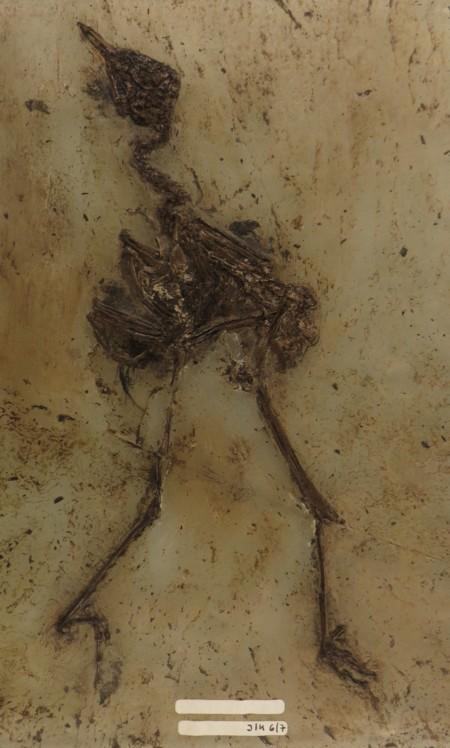 Aves Indet Messel 1