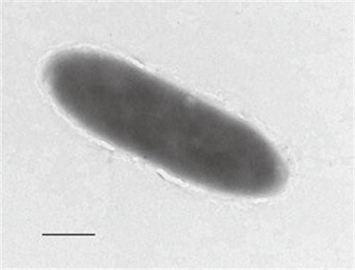Estas bacterias se alimentan de hidrocarburos y vive en el lugar más profundo de la Tierra