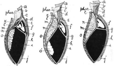 Diaphragm Arthur Keith 1