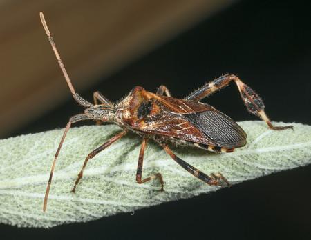 La misión imposible de controlar la plaga invasora que se está comiendo el pino europeo: biomoléculas, piñones y ciencia ciudadana