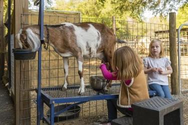 A partir de ahora las fórmulas infantiles podrán hacerse también con leche de cabra
