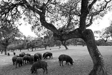 Cerdos En La Sierra De Aracena (huelva) En Verano