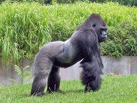 Lo limitado de nuestra atención: ni siquiera somos capaces de ver un gorila