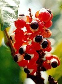 Guaraná, la fruta