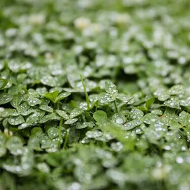 Beneficios de la alfalfa para tu salud, como el control del colesterol