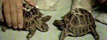 La rara historia de las tortugas que llegaron a la luna y volvieron para contarlo