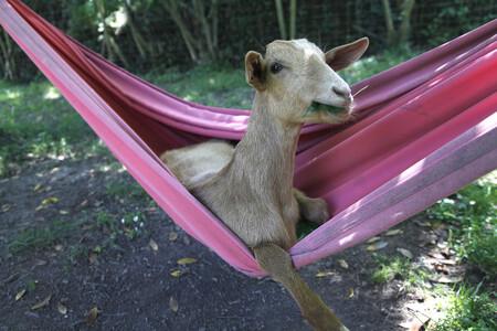 Robert Prat Goat Relax Time 00000365