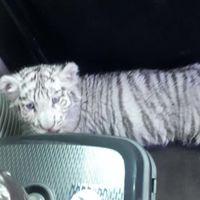 Siguen encontrando tigres transportados de manera ilegal en México, ahora fue un tigre de bengala