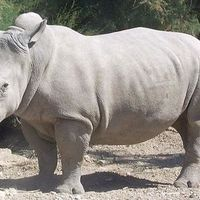 El último rinoceronte blanco del norte macho ha muerto (y solo quedan dos hembras)