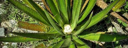 Así es como pretenden obtener bioetanol del agave lechuguilla en la UAdeC en México