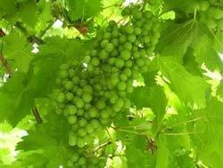 Poca uva, pero buena