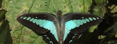 Este es el insecto con la visión cromática más compleja: 15 tipos de fotorreceptores