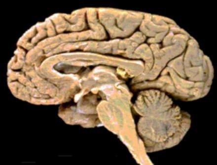 El cerebro humano en cifras