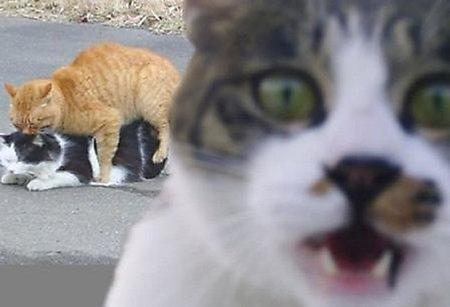 Los gatos obsesos sexuales que transmitieron culturalmente su obsesión (corregido)