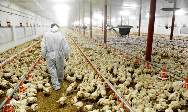 Por qué los pollos clorados se han convertido en el símbolo de la lucha contra los acuerdos TTIP