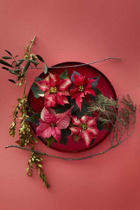 2016 Poinsettia Variedades 03 Es