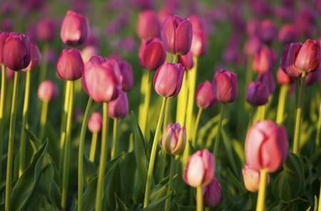Tulipanes.jpg