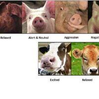 Esta IA de reconocimiento facial podría usarse para identificar y medir el estado emocional de los animales de granja