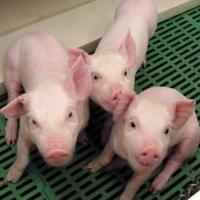 Cerdos con un alto nivel de ácido graso Omega-3