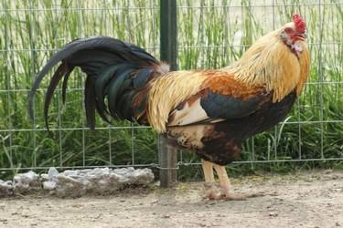Entre pollos anda el juego ¿Quieres conocer las cualidades de esta carne?
