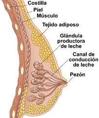 glandula_mamaria.jpg