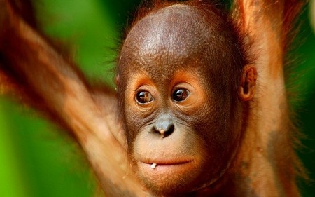 Cría de chimpancé