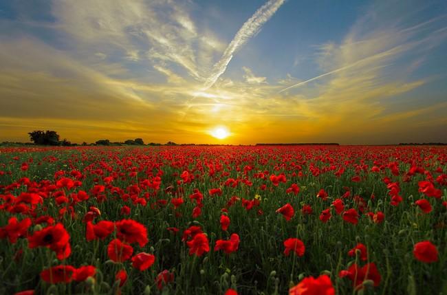 Esplendor en la hierba: los campos de amapolas más bellos de España