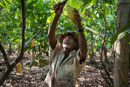 Granjero Cacao