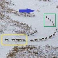 Lo sentimos, pero ese post viral de Facebook sobre cómo viaja una manada de lobos es falso