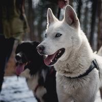 Ni la caza ni la compañía: domesticamos al perro porque nos sobraba carne en la Edad de Hielo
