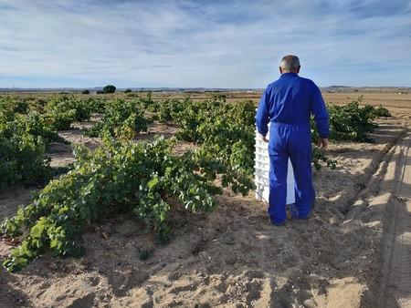 vendimia viñedos