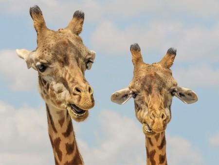 Este es el recién descubierto zumbido nocturno que emiten las jirafas