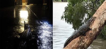 En plenas inundaciones, Australia se prepara para otra guerra. Esta vez contra sus cocodrilos