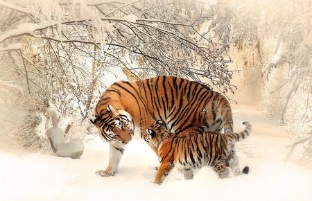 Tiger 591359 960 720