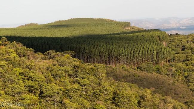 ¿La culpa es del eucalipto? Gestionar bien el bosque previene más fuegos que plantar otras especies