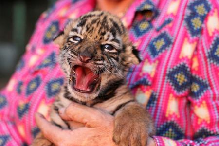 'Covid': una cría de tigre de Bengala nació en un zoológico de Veracruz, México, y fue bautizada como la enfermedad